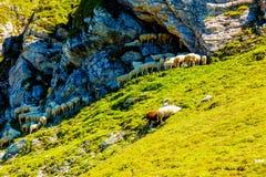 Gebirgsalpine Weiden auf den Slowenen Schafherden in den Bergen Stockbilder