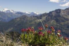 Gebirgsblume mit Mont Blanc im Hintergrund Stockbild