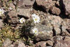 Gebirgsblumen auf Steinen lizenzfreie stockbilder