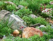 Gebirgsblumen in der Blüte unter den Felsen Lizenzfreie Stockfotos