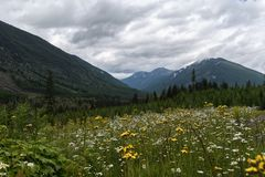 Gebirgsblumen in der kanadischen Wildnis lizenzfreies stockfoto
