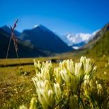 Gebirgsblumen, Russland, Altai-Republik Stockfotografie