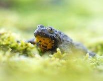 Gebirgsbrauner gelber Frosch Stockbilder