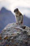 Gebirgseichhörnchen Lizenzfreies Stockbild