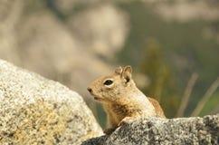 Gebirgseichhörnchen, das neugierig von einem Felsen schaut Stockbilder
