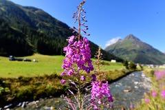 Gebirgsflora in Trisanna Vally zu Galtur Stockbild