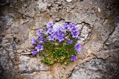 Gebirgsglockenblumen Stockfotografie