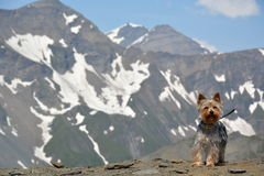 Gebirgshund Lizenzfreies Stockfoto