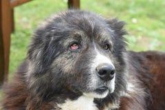 Gebirgshund Mestia, svaneti, Georgia Lizenzfreie Stockfotos