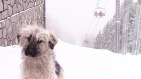 Gebirgshundeeinfrieren stock video footage