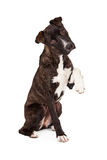 Gebirgskanaille-Hund mit Paw Up Stockbilder