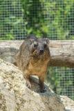 Gebirgskaninchen - Daman - Procaviacapensis, die auf einem Stein steht stockfoto