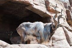 Gebirgsknotige Ziege Der Markhor, alias die Schraubenhornziege Erwachsener Mann von Capra falconeri, gegen ein natürliches felsig lizenzfreies stockfoto