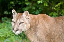 Gebirgslöwe oder -Puma Stockfoto