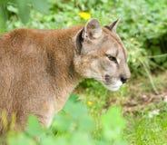 Gebirgslöwe oder -Puma Stockbild
