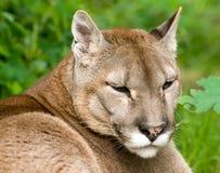 Gebirgslöwe oder -Puma Lizenzfreie Stockbilder