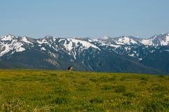 Gebirgslandschaft mit Rotwild stockbilder