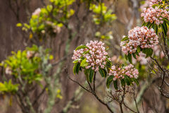 Gebirgslorbeer im Frühjahr Stockbild