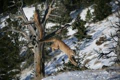 Gebirgslöwe, der von einem toten Baum springt Lizenzfreies Stockfoto