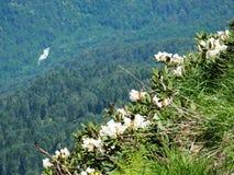 Gebirgsrhododendren Stockfotografie