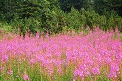 Gebirgsrosafarbene Blumen Lizenzfreie Stockfotos