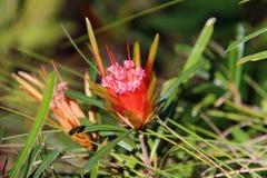 Gebirgsteufel-Blume Stockfoto