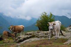 Gebirgstierhaltung Kühe und Kälber Lizenzfreie Stockfotografie