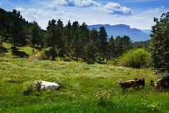 Gebirgswiese mit Kühen im Sommer Stockfotos
