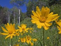 Gebirgswiesenansicht der Aspen-und Arnika-Sonnenblume Stockfoto