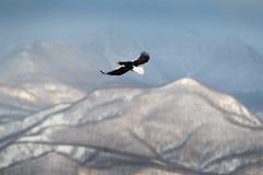 Gebirgswinterlandschaft mit Vogel Steller-` s Seeadler, fliegender Raubvogel, mit blauem Himmel im Hintergrund, Hokkaido, Japan E Lizenzfreie Stockfotos