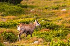 Gebirgsziege alias Rupicapra Rupicapra Tatrica in hohem Tatras, Slowakei lizenzfreies stockfoto