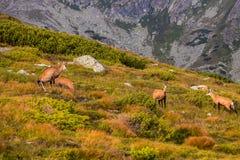 Gebirgsziege alias Rupicapra Rupicapra Tatrica in hohem Tatras, Slowakei Stockbilder
