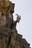 Gebirgsziege auf Felsenleiste Stockfotos