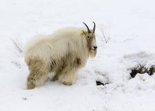 Gebirgsziege auf Schneehügel mit schmutzigem Gesicht und Körper vom Essen lizenzfreie stockfotos