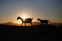 Gebirgsziege bei Sonnenaufgang Stockfotografie