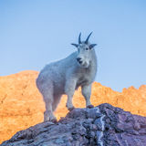 Gebirgsziege bei Sonnenuntergang - Glacier Nationalpark Lizenzfreie Stockbilder