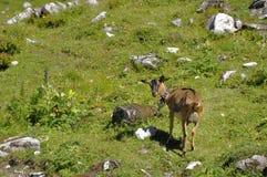 Gebirgsziege in den Alpen Stockbilder