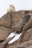 Gebirgsziege, die auf großen Felsen sitzt Stockbild