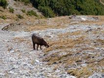 Gebirgsziege in einer alpinen Natur lizenzfreie stockfotos