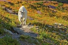 Gebirgsziege, Gletscher-Nationalpark stockbild