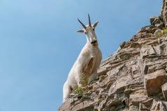 Gebirgsziege im Glacier Nationalpark lizenzfreies stockfoto