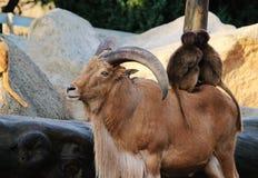 Gebirgsziege mit Hörnern, Affen, Paviantierliebesnatur Lizenzfreie Stockfotos