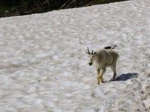 Gebirgsziege Oreamnos americanus an Gehen-zu-d-Sun-Straße, entlang Wanderweg bei Logan Pass Glacier National Park Montana USA stockbild