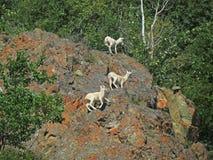 Gebirgsziegen auf Lichen Covered Rocks Lizenzfreie Stockbilder