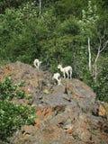 Gebirgsziegen auf Lichen Covered Rocks Stockfoto