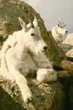 Gebirgsziegen, die auf Mt. Evans sich entspannen Lizenzfreies Stockfoto