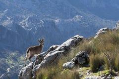 Gebirgsziegen mit Haube in den Bergen von Cadiz Stockbild
