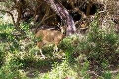Gebirgsziegendamhirschkuh im Wald stockfotografie