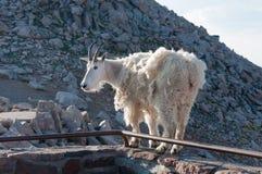 Gebirgsziegenstand stolz, hoch in den felsigen Bergen Stockfotos