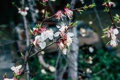 Geblühte Bäume Stockfotografie